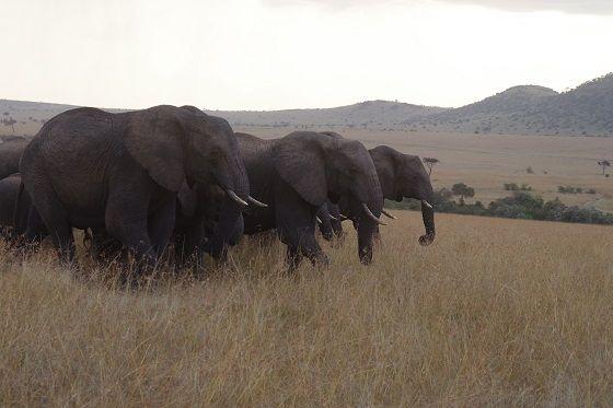Elephants, Masai Mara budget safari, Kenya