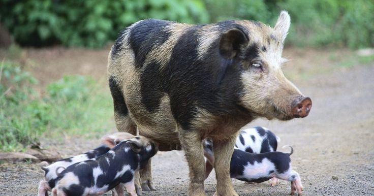 Razas comunes de cerdos. Los cerdos vienen en una amplia variedad de colores, formas y tamaños. Históricamente, la mayoría de las regiones tenían su propia raza o razas de ganado porcino, desde el cerdo Gloucestershire Old Spots de Inglaterra, hasta el pequeño cerdo vietnamita de cola recta. De acuerdo con la Universidad de Georgia, los granjeros estadounidenses ...