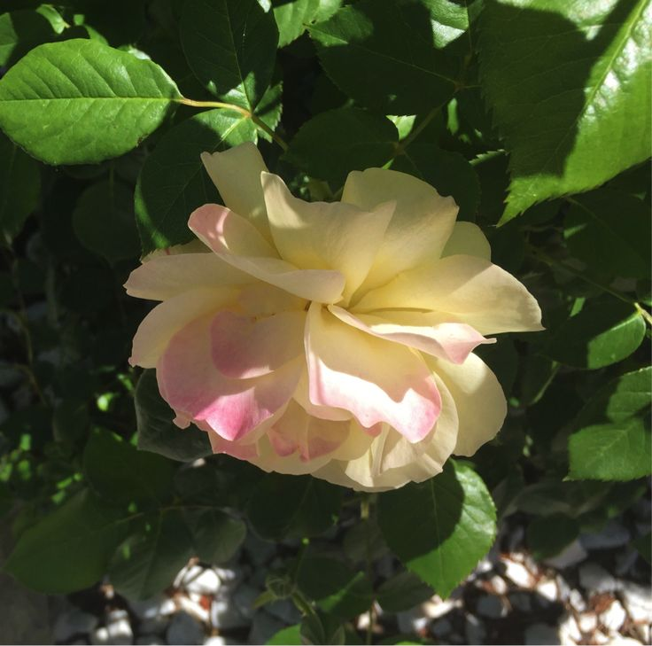 Sonie Ames Designs » Sonie would have loved to paint this rose!