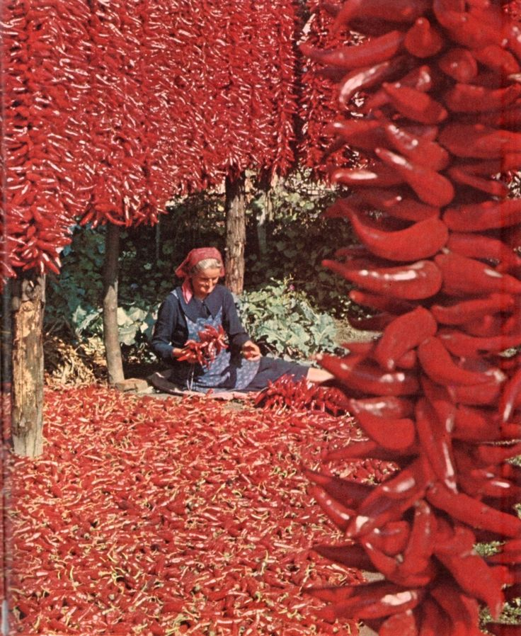 The makings of Paprika - Red pepper drying in Hungary, 1968