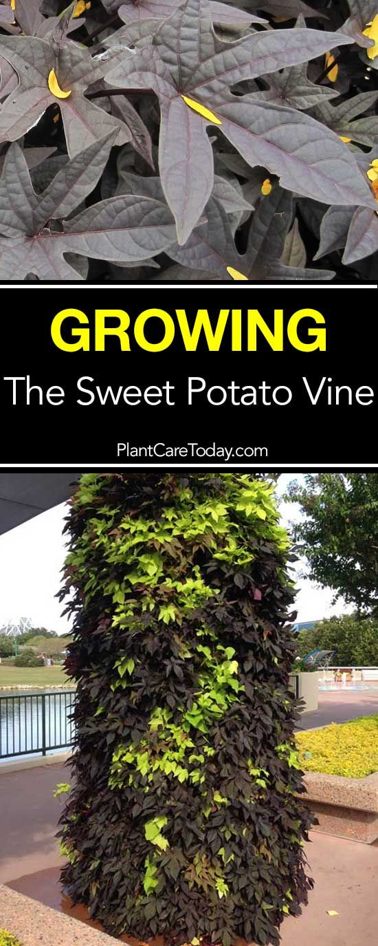 Sweet potato vine grow from tubers, used as indoor houseplant or outdoor container plants. Colorful as container garden spillers and in hanging baskets.