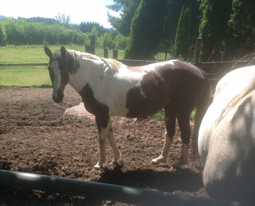 Bay APHA Paint Mare, Great Husband or Kids Trail horse in Oregon. DreamHorse.com is the premier horse classifieds site with horses for sale, lease, adoption, and auction, breeding stallions, and more.