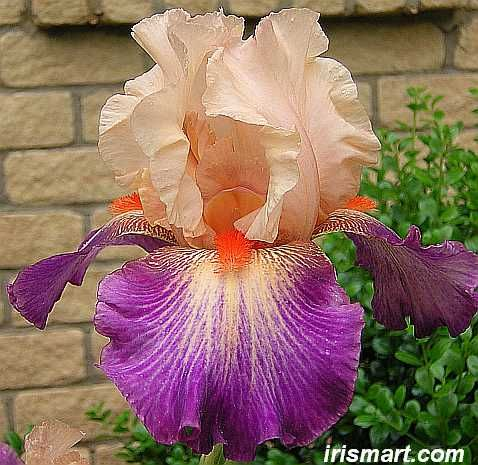 Chevalier De Malte bearded iris for sale