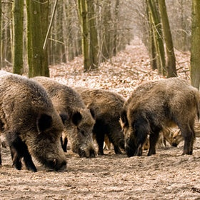 Arkansas Wild Razorbacks Hogs??