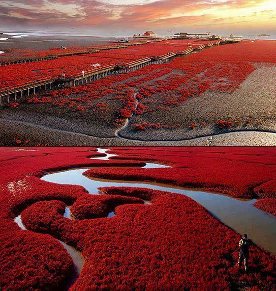 """Panjin Red Beach, China This striking """"beach"""" in the Liaohe River delta (China) gets its distinct colour from 6,000 acres of red grass. Colour us impressed…and happy! (by unknown)"""