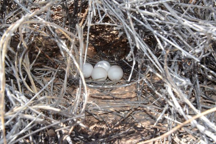 An active nest of night parrot eggs was discovered in Queensland's Diamantina National Park in 2016.