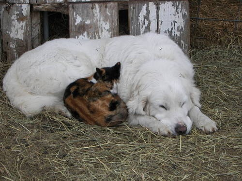 Pyrenean mountain dog (Great Pyrenees) cuddling with cat.