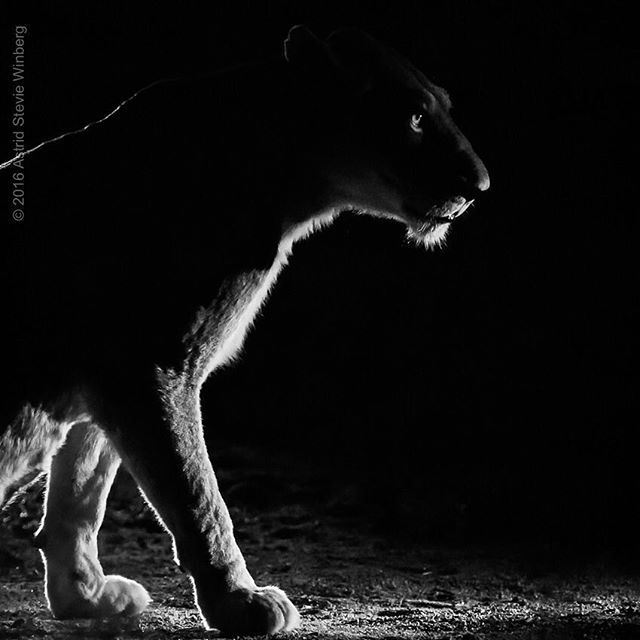 Out of the shadows ... Alert, composed, focused ...