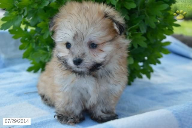 Pomeranian Mix Puppy for Sale in Indiana
