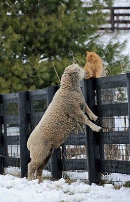 sheep and cat: Animal Friendship, Fence, Cat, Farms, Pet Zoos, Sheep, Funny Animal, Lamb, Kitty