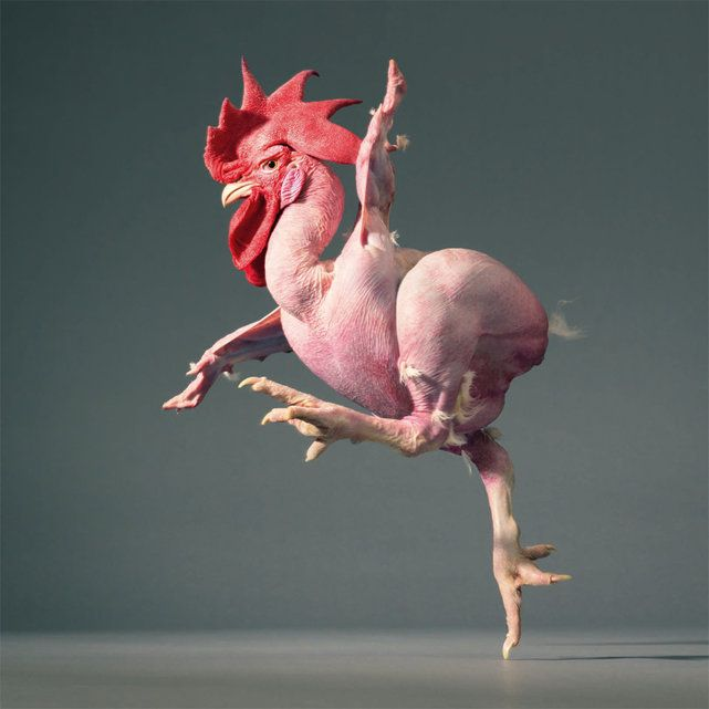 naked chicken breed - Oh, that is just horrible!! Poor chicken!! Don't see me wanting on of these!
