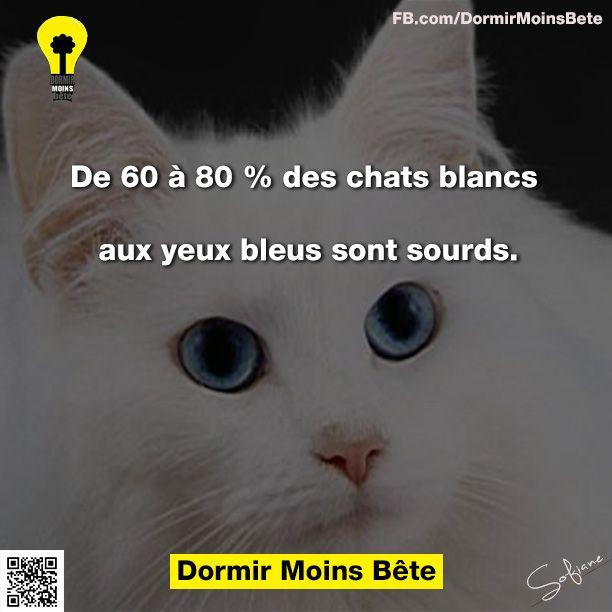 De 60 à 80% des chats blancs aux yeux bleus sont sourds.
