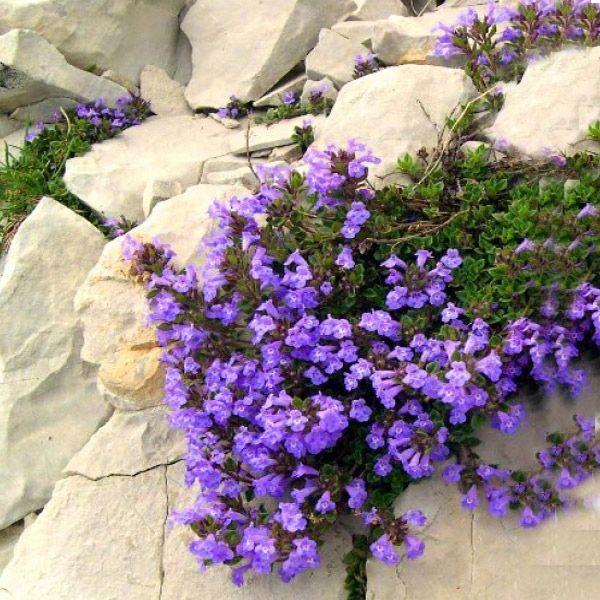 Czyscica Alpejska Kwitnie Do Konca Sierpnia 8000438583 Allegro Pl Plants