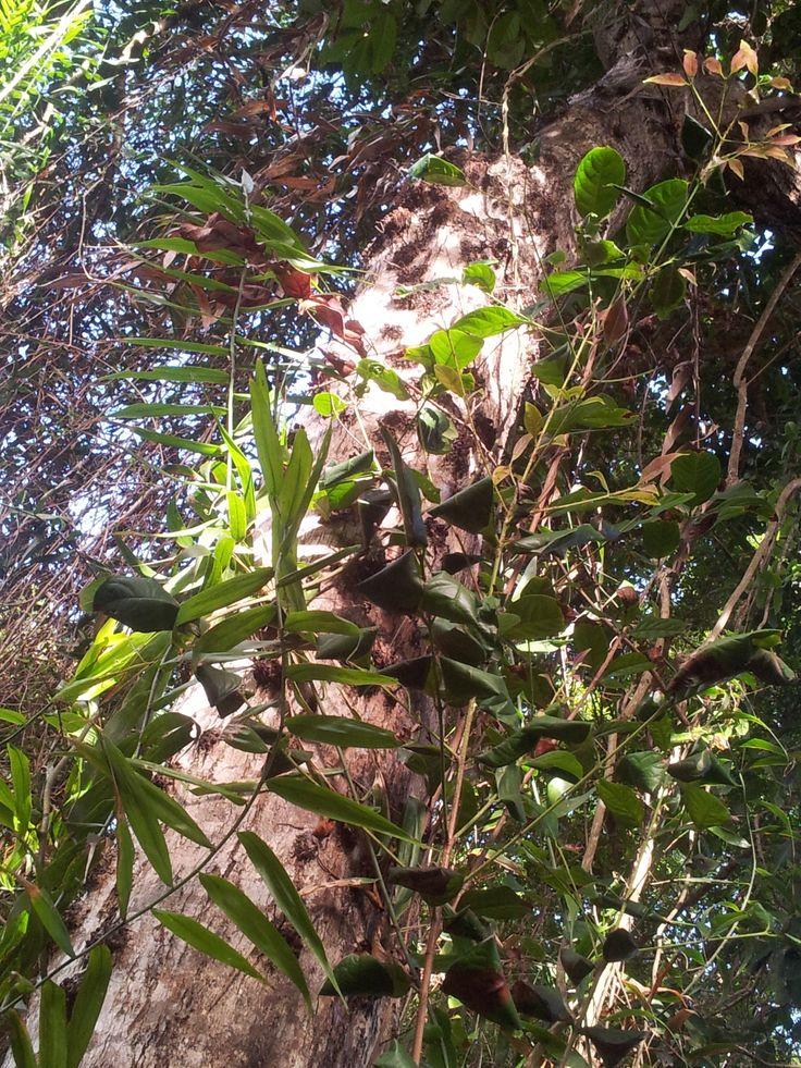 Magic trees @Thala Beach Lodge Australia