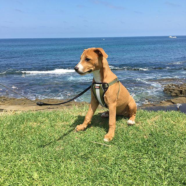 #iris #saturdaymorning #puppywalk #beachwalk #pitbull #pitpuppy #pitmix #puppy #lajolla #sandiego #アイリス #土曜の朝 #散歩#ビーチ#子犬 #わんこ #愛犬 #ピットブル #ピットミックス #ラホヤ#サンディエゴ#カリフォルニア#西海岸#太平洋#アメリカ生活 #lajollalocals #sandiegoconnection #sdlocals - posted by Yuka P  https://www.instagram.com/lyukaip. See more post on La Jolla at http://LaJollaLocals.com