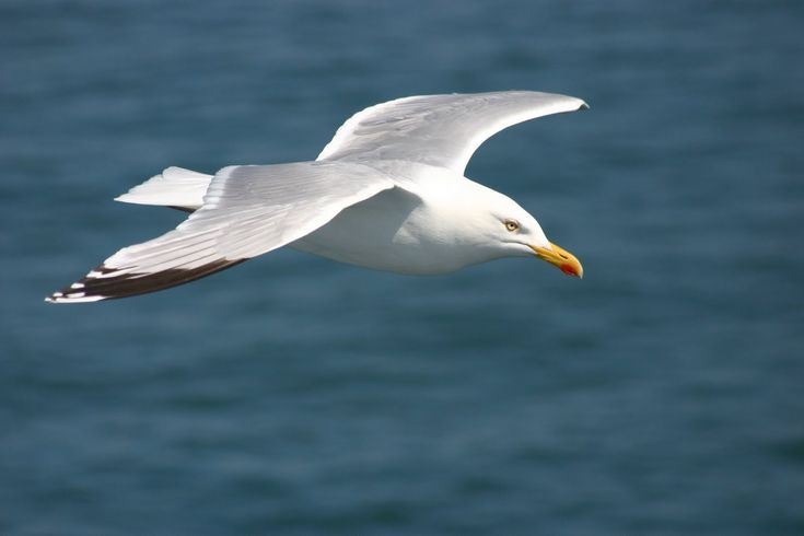 seagull   Seagull Wallpaper   Latest Hd Wallpapers