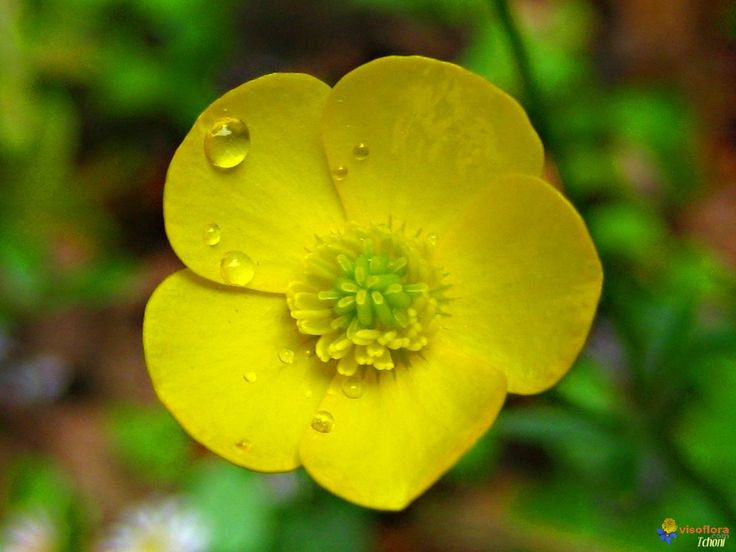 Bouton d'or - Buttercup