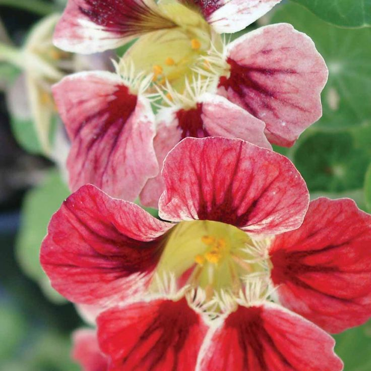 Nasturtium 'Chameleon' - Half-hardy Annual Seeds - Thompson & Morgan