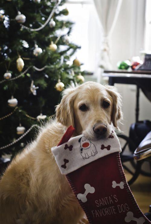 dog and christmas-bilde