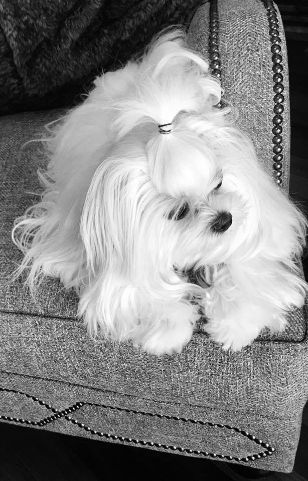 Pin By Cindy Burns Walter On Maltese Breed Maltese Puppy Funny