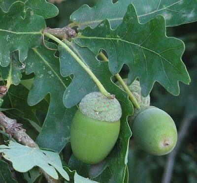 Sommereik, Quercus robur, Fagaceae Bøkefamilien, LIGNOSE