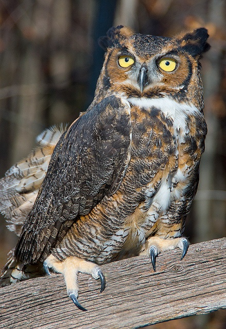 157 best images about falconry on pinterest peregrine for Do owls eat fish