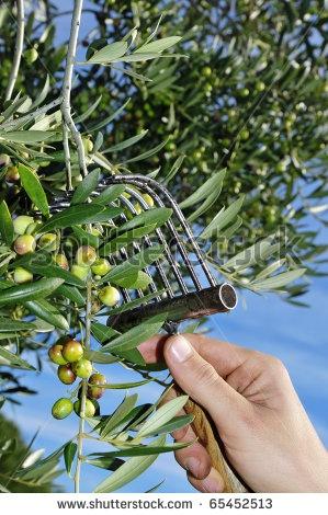 Harvesting olives in Catalonia, Spain