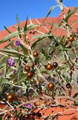 Bush Tomato plant - AUSTRALIAN HERBS http://www.bushfoodshop.com.au/bush-tomato/