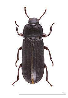 Mealworm - Wikipedia Tenebrio molitor MHNT.jpg