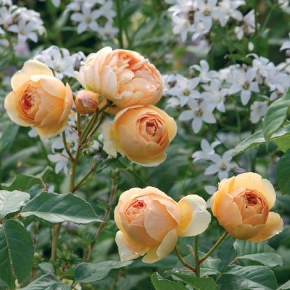 Jude the Obscure - David Austin Roses. My next so cal rose. Needs a little room. Super super fragrant, strong bush.
