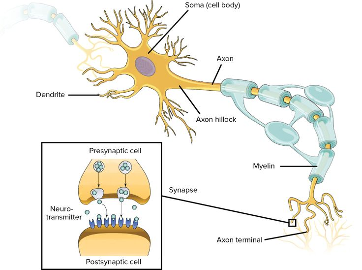 18 best tareas imgenes google images on pinterest google images 3 overview of neuron structure and function article khan academy ccuart Image collections