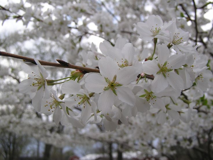 Flowering Pear Tree. Beautiful! | Pear tree, moth, etc