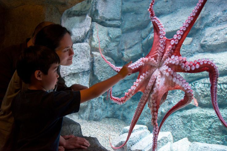 The 'Escape Artist' Inky The Octopus