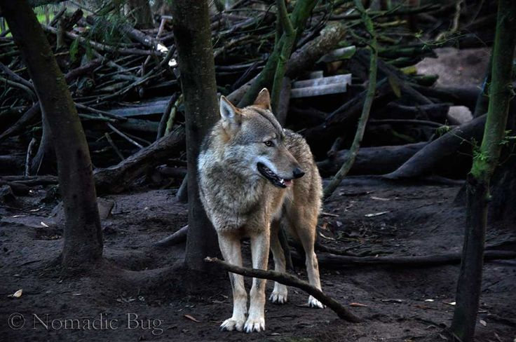 Forest wolf, Noah's park and WOLF SANCTUARY, Garden Route, South Africa Nomadic Existence