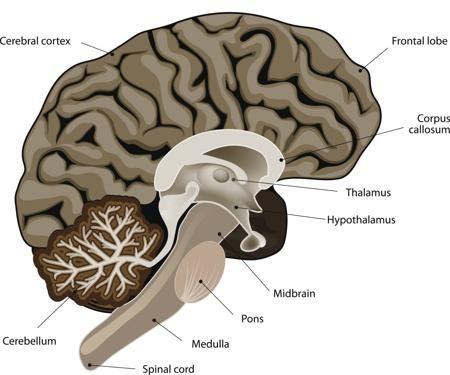 The Human Brain Diagram (STIMULI >> SIMULTANEOUS AROUSAL AND EMOTION)