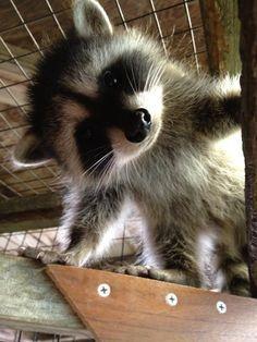 Cute Baby Raccoon My friend rescued a baby raccoon. meet pumpkin, the raccoon