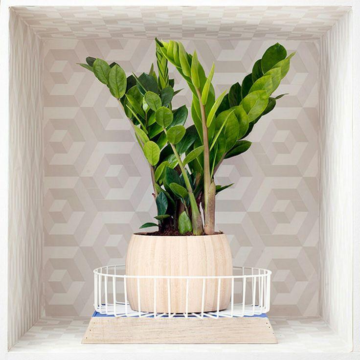 16 best \Zamioculcas images on Pinterest Indoor plants