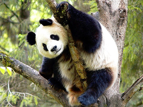 Cute shot of a giant panda. Did you know that the giant panda is the rarest member of the bear family?