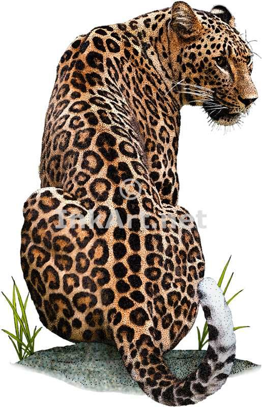 Full color illustration of a Persian Leopard (Panthera pardus saxicolor)