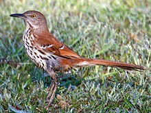 Brown Thrasher - In our yard the other day- first time to see this bird.
