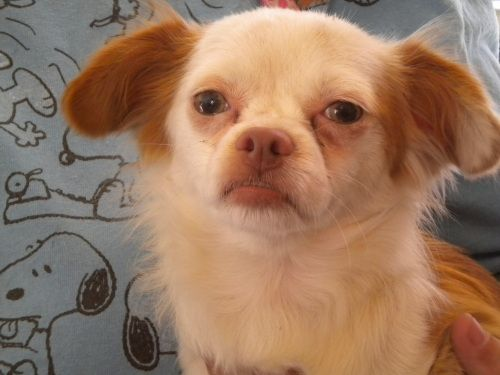 Archie~ <3 Chihuahua Mix • Adult • Male • Small. For the Sake Of Dogs Fresno, CA. Pet ID: 325 • Neutered • Shots Current. Petfinder.com is the world's largest database of adoptable pets and pet care information. Updated daily, search Petfinder for one of over 300,000 adoptable pets and thousands of pet-care articles!