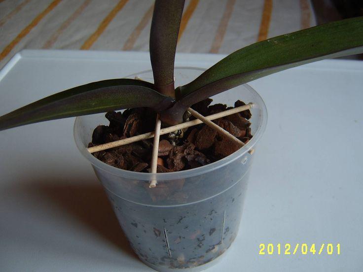 Cuando trasplantamos una planta y tiene pocas raíces, la intención es inmovilizar a la planta, las Orquídeas que se mueven se estresan y pierden la energía vanamente (Orquídea que se mueve, Orquídea que se muere)
