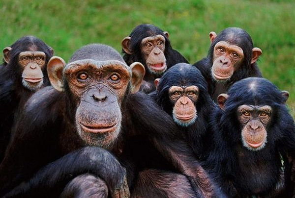 Orphan chimpanzees by Steve Bloom