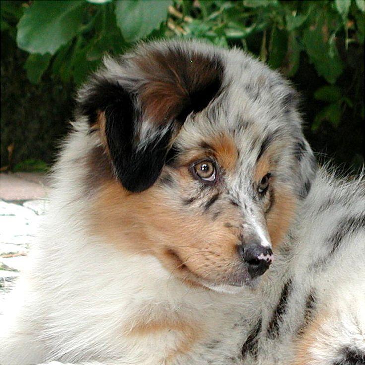 Australian Shepherd Zucht Rosebud of Crana: Kompetenter Züchter von Aussies und Mini Aussies: Richy