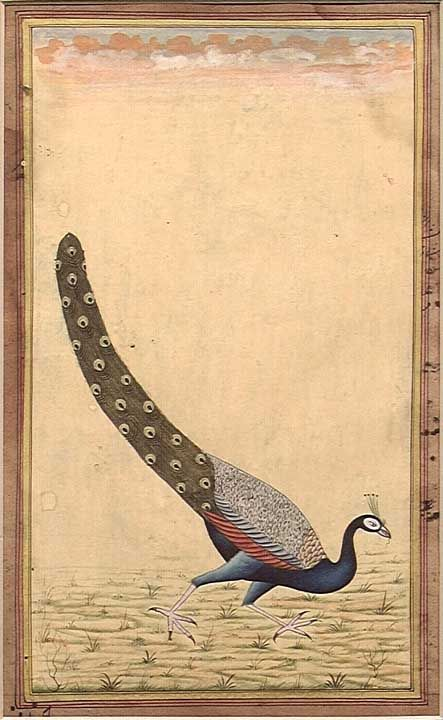 Persian Peacock Miniature, ca.19th century or earlier. Peacock is rendered with very fine brushwork. Gouache, gold and ink on paper. Fine calligraphy covering verso. 6 x 8.5""