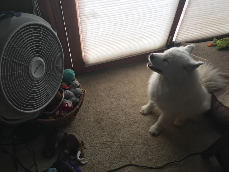 The way my pupper likes to sit in front of the fan and bask in the cooling air as it ruffles her fur is a LOT less adorable when she's still shedding her winter coat. Though it does explain how so much hair ends up on top of the lamps... http://ift.tt/2t9tcqO