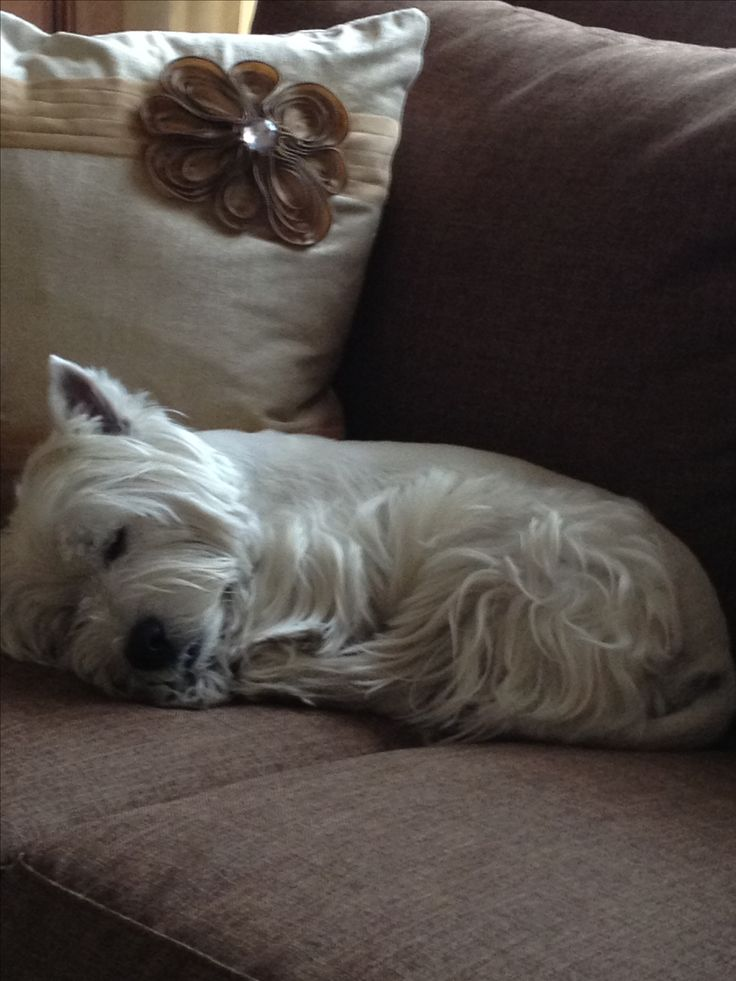 There's nothing more calming than a sleeping Westie.