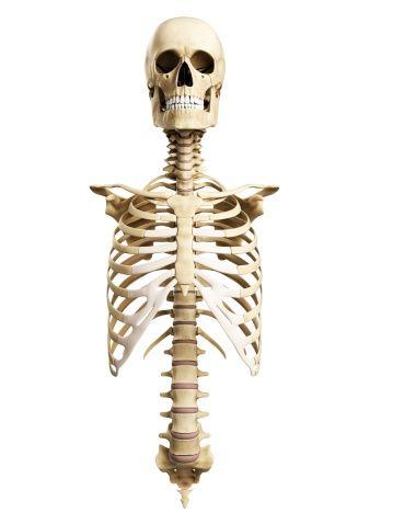 Skull and spine anatomy