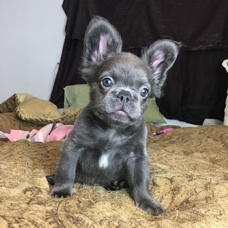 Image Result For Long Haired Blue French Bulldog French Bulldog