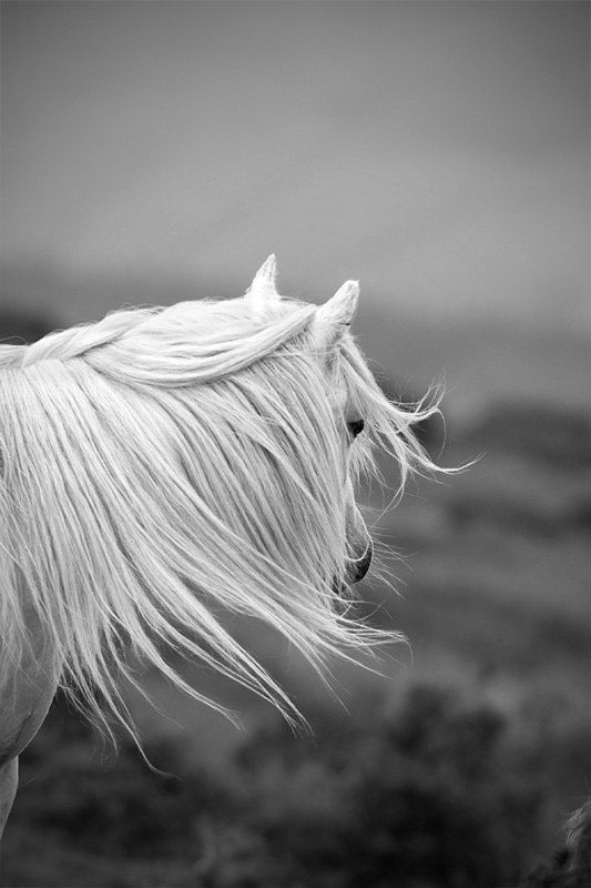 Black and white horse photo, horse wall art, white pony, animal photography, windswept, LARGE SIZES